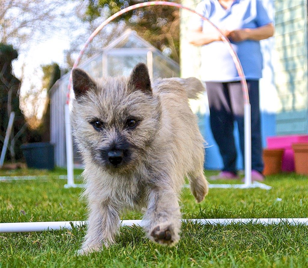 b5f5787422c4 Hoopers is one of the fastest growing UK Dog sports. Dogs run through hoops  and tunnels and around barrels. These two workshops are for any dog, new to  ...